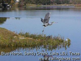 click for Blue Heron video