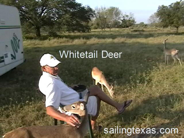 Click to play whitetail deer video