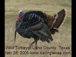 Click to start wild turkey video