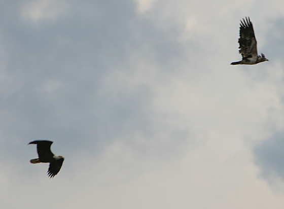 Bald eagles in Texas