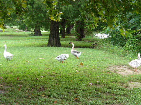 Swans and geese at Blanco State Park